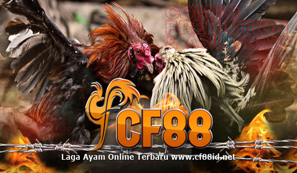 CF88 Sabung Ayam Filipina Asil Boxing & Combo Prediction